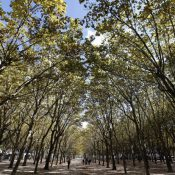Street trees: great anywhere, but especially in the most crowded cities. (Regis Duvignau/Reuters)