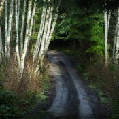 Alder trees press themselves over a road on part of the 3,000 acres that the Port Gamble and Suquamish tribes and other community partners are trying to preserve. (Steve Ringman/The Seattle Times)