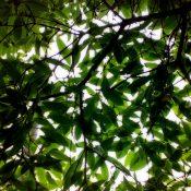 Tree canopy (Michael Verhoef / CC)